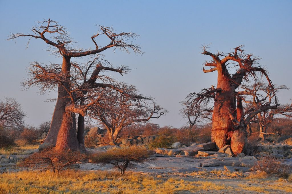 Les plus vieux baobabs d'Afrique meurent à un rythme effrayant