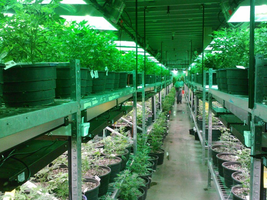 Une plantation de canabis
