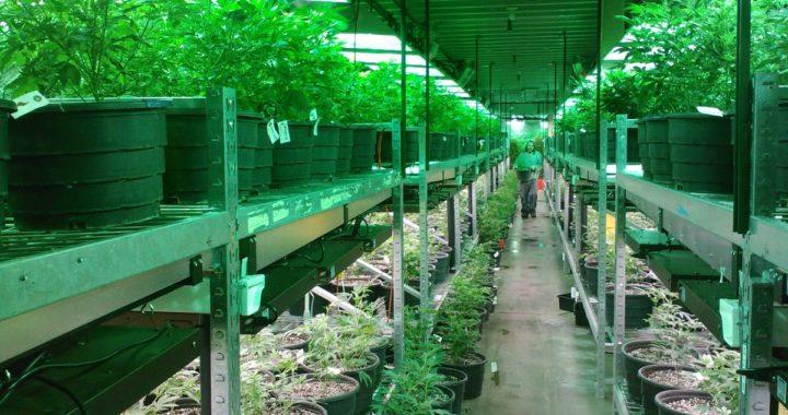 Légalisation du cannabis : 5 parties danois la soutiennent